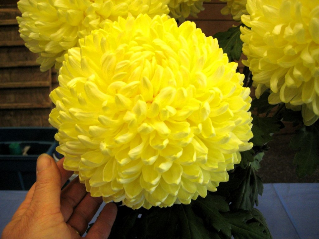Chrysanthemum Chessington Primrose