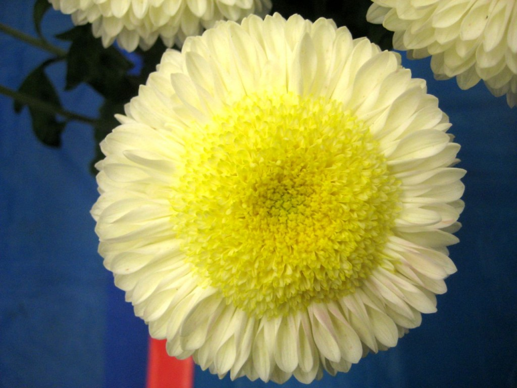 Chrysanthemum Pennine Oriel (Cream)