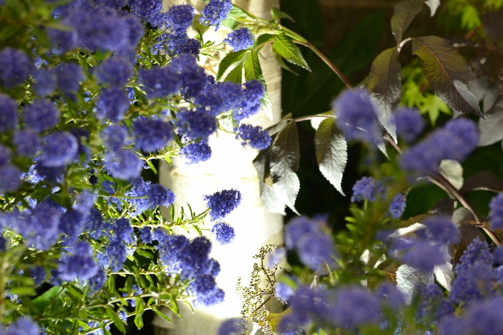 The true blue of Ceanothus (California Lilac)