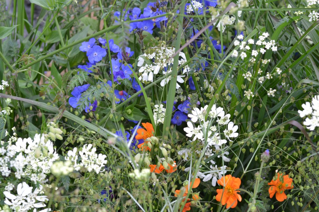 Orlaya grandiflora, the true blue Anchusa azurea 'Loddon Royalist', and Geum 'Mrs Bradshaw'