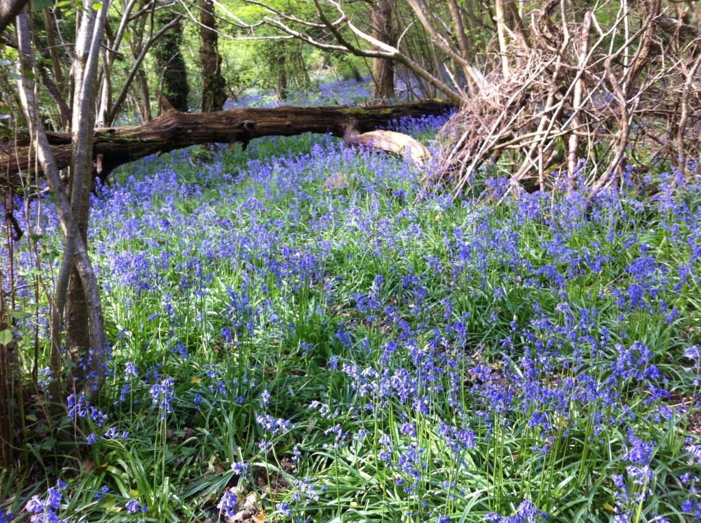 Native bluebells in Prior's Wood, Portbury, North Somerset