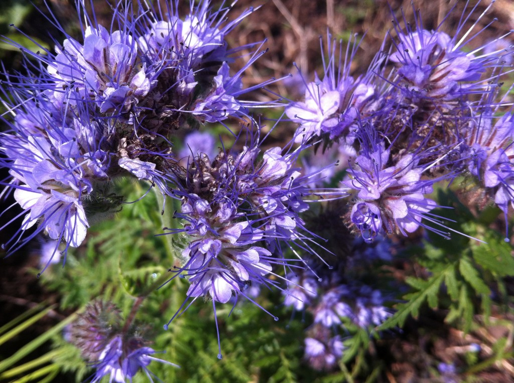 Phacelia tanacetifolia, a green manure cover crop from the Borage family, and very attractive to hoverflies and bees