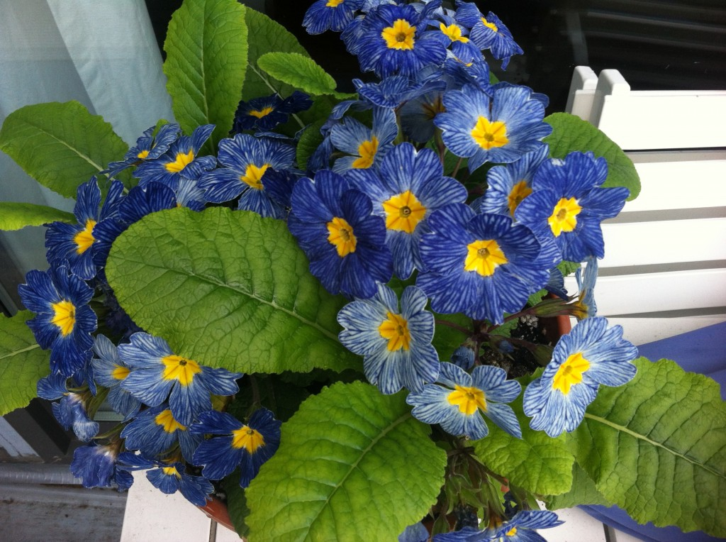 Primula 'Blue Denim'