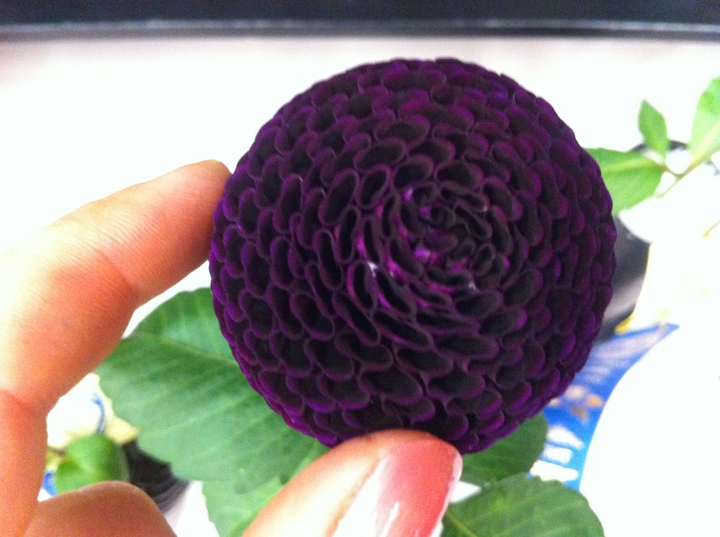 Dahlia 'Glenplace', a delectable, almost  black pompom,