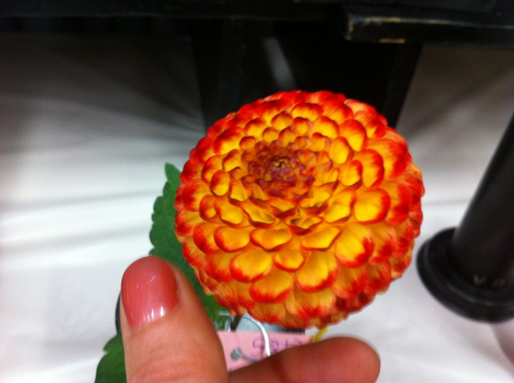 Dahlia 'Little Beeswing', the tiniest ball of fire