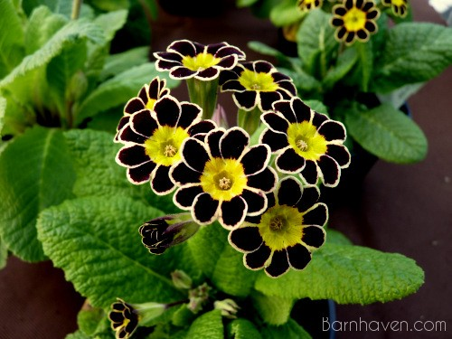 Gold-Laced Primula