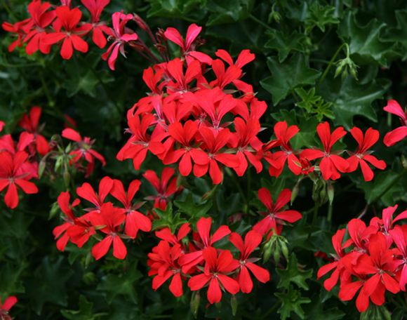 Swiss Balcony Pelargonium